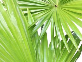 due foglie verdi su bianco foto