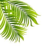 due foglie di palma isolate su uno sfondo bianco foto