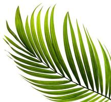 primo piano di una foglia di palma verde su fondo bianco foto