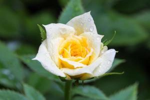 rosa bianca e gialla con gocce d'acqua