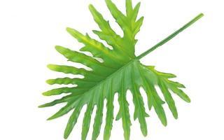 foglia di filodendro verde foto