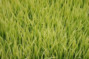 erba verde chiaro foto