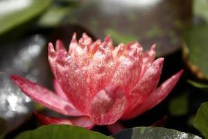gocce di pioggia su un fiore di loto