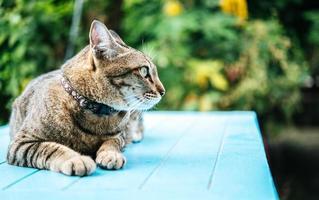 primo piano di un gatto soriano su una superficie blu foto