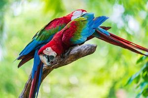 due pappagalli colorati su un ramo di un albero foto