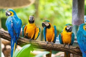 gruppo di Ara colorato sui rami degli alberi foto