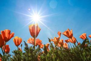 campo di papaveri e fiori di campo alla luce del sole sotto un cielo blu foto