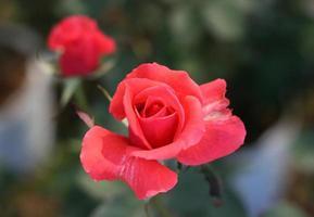 rosa in un giardino foto