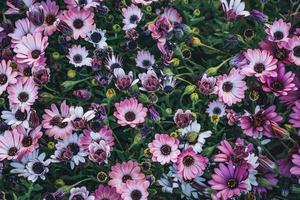 fiori di margherita africana foto