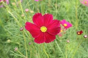fiore rosso cosmo foto