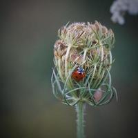 bella coccinella su una pianta foto