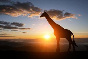 silhouette di giraffa su uno sfondo tramonto foto