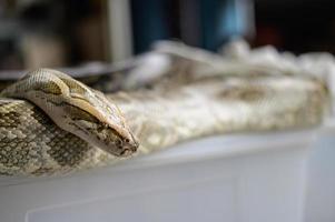 primo piano del serpente boa foto