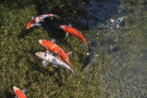 pesci koi colorati in piscina