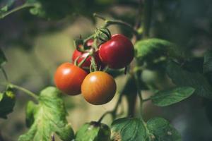 pomodori freschi in giardino foto
