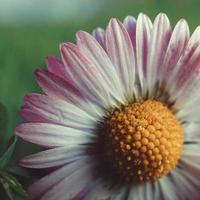 fiore margherita rosa e bianco nel giardino foto