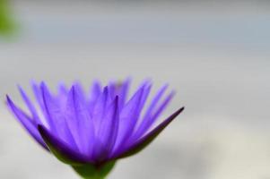 un fiore di loto viola foto