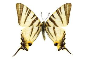 scarsa farfalla a coda di rondine foto