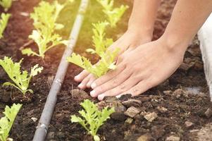 mani che piantano lattuga in giardino foto