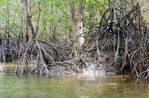 radice di albero di mangrovie a Krabi, Thailandia foto