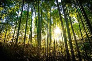 bellissima foresta di bambù ad arashiyama, kyoto foto