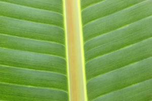 primo piano della foglia di banana foto