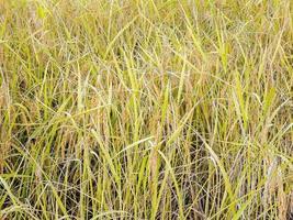 piante di riso dorato in un campo