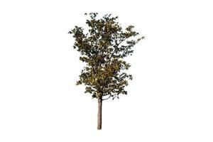 albero isolato su sfondo bianco foto