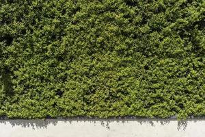 siepe verde su un muro bianco sul fondo foto