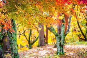 bellissimo albero di acero in autunno foto