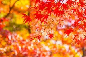 bellissimi alberi di acero in autunno foto