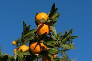 mandarini su un ramo con cielo blu chiaro foto