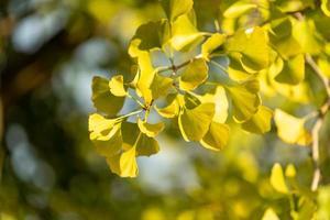 foglie e rami di ginkgo retroilluminati foto