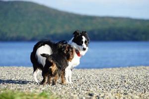 due cani su una spiaggia a vladivostok, russia foto