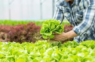 contadino raccogliendo un raccolto di lattuga foto