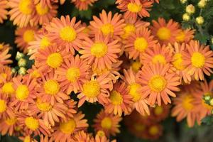 primo piano di fiori di crisantemo arancione foto