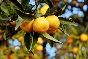 mandarini su un ramo con albero di mandarino in background foto
