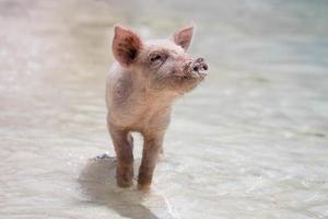 maialino che gioca in acqua foto