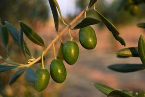 maturazione delle olive su un albero durante il tramonto