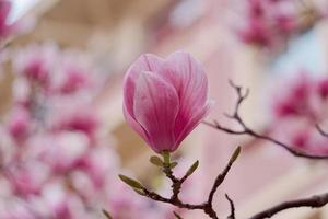 pianta fiore rosa in natura nella stagione primaverile
