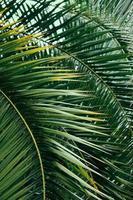 foglie di palma verde foto