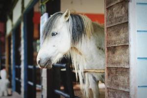 cavallo bianco nella stalla della fattoria foto