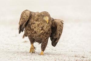 aquila dalla coda bianca che cammina nella neve