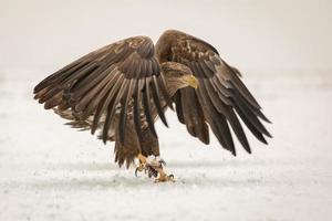 aquila dalla coda bianca che atterra nella neve