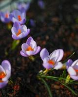 fiori viola e bianchi sul terreno foto