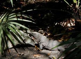 iguana in strada foto