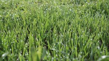 campo di erba verde al mattino foto