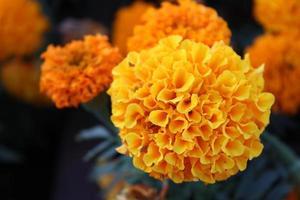 macro Close up di arancio e giallo fiori di calendula in fiore in primavera foto