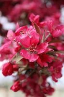 macro Close up di fiori rossi in fiore su un albero di crabapple foto