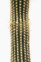 cactus su sfondo bianco foto